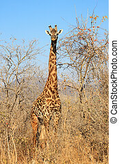 Giraffe in bush - Young Giraffe in bush. Dry seazon. Ruaha...