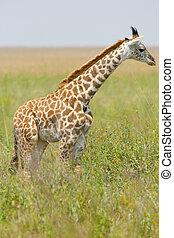 Young giraffe in the grass