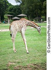 Young giraffe in the open zoo
