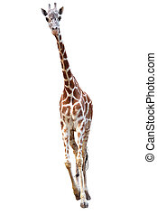 young giraffe isolated