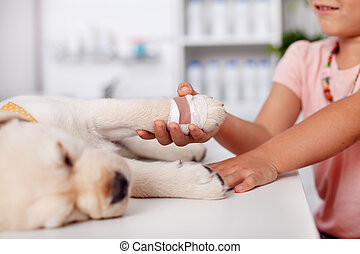 Young girl holding the bandaged paw of her cute labrador puppy dog