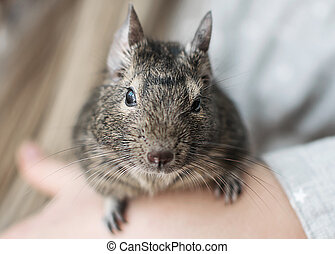 Young girl playing with small animal common degu squirrel. Close-up portrait of the cute pet sitting on kid's hand and looking into camera