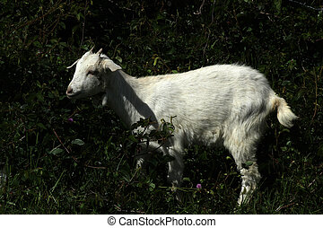 Young Goat Among Bushes
