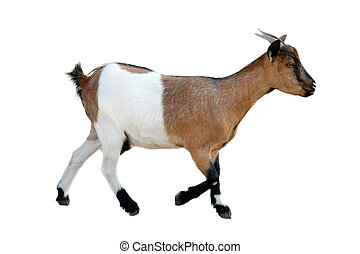 young goat - beautiful goat in front of white background