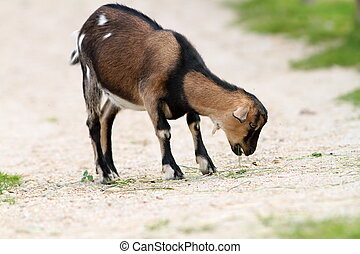 young goat eating grass on farm alley