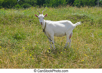 Young goat female standing on a summer pasture in Ukraine