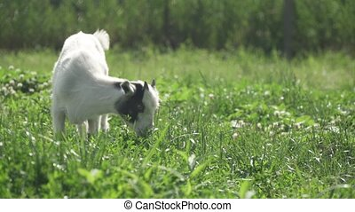 goat grazing on a green meadow in summer time