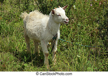 Young Goat in a Pasture