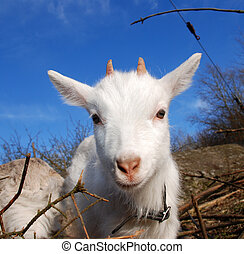 young goat looking into the camera