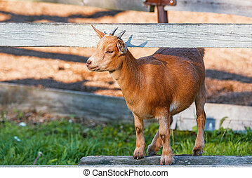 Young goat on the wooden fence at sunset time.