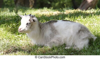 Young goat resting on the grass