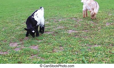Young goat with her mother goat - Goats grazing on natural...