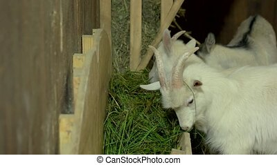 Young goatlings eating hay in a stall on a farm.
