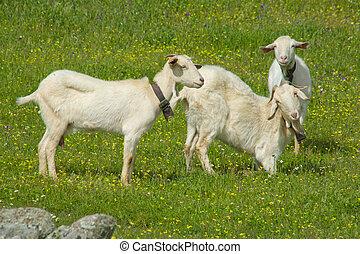 Young goats grazing