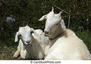 Young Goats in a Field