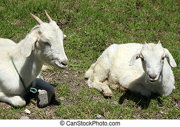Young Goats in a Pasture