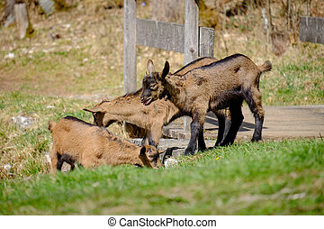 Young goats on a meadow in Bavaria, Germany