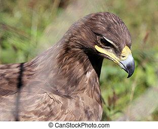 Young golden eagle (Aquila chrysaetos) close-up