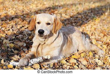 Golden Retriever - Young Golden Retriever dog laying on ...