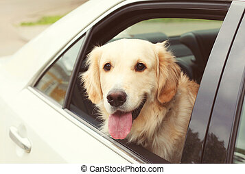 Young Golden Retriever dog sitting in car looking out the window