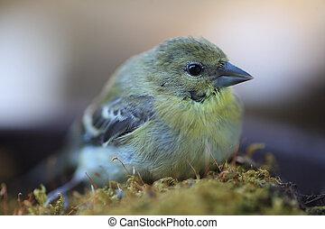 Young goldfinch closeup