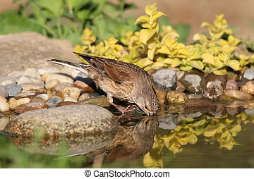 Young Goldfinch drinks water