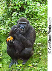 Young gorilla eating fruit