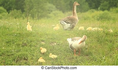 young goslings with paterns on the grass