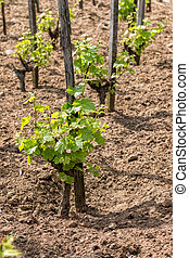 Young grape plant