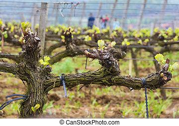 Young grape shoots at the vineyard.