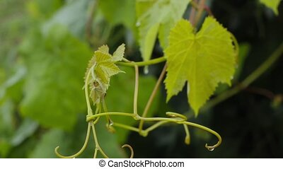 Young grape vine green leaves in the wind on a rainy day.