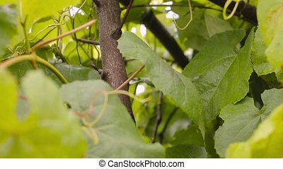 Young grape vine green leaves in the wind on a rainy day