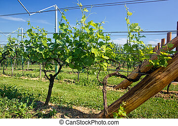 Young grape wines in the vineyard