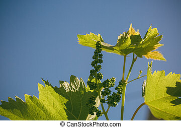 Young grapes with sunlight reflecting against the blue sky