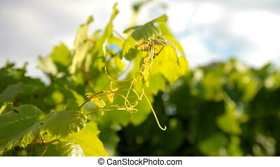 Young grapevine leaves in early summer