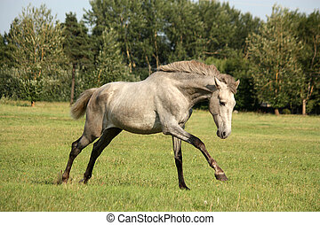 Young gray andalusian spanish horse galloping free and happy