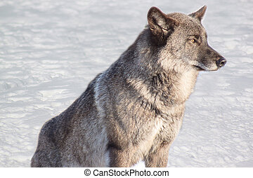 Young gray canadian wolf on white snow.