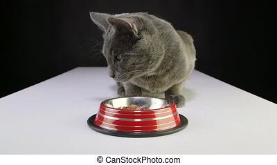 Young gray cat eating wet canned food from bowl close-up