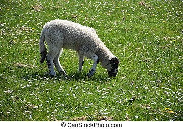 Young Grazing Lamb in a Field with Small Flowers Blooming
