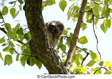 Young Great Horned Owl, Delta BC Canada May 2012