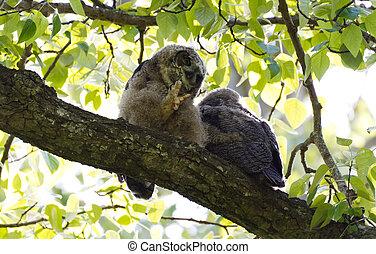 Young Great Horned Owl - Young Great Horned Owl, Delta BC...