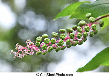 Young green American pokeweed fruit (the green berries) on a...