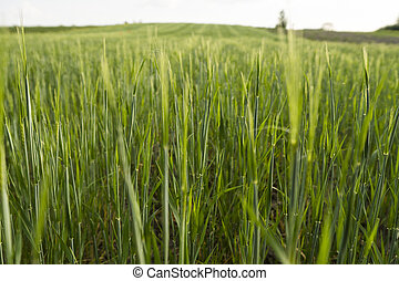Young green Barley field agriculture in a sunny day. Natural product. Agricaltural landscape.