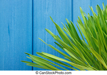 Fresh young green barley grass with blue boards in background, copy space for text