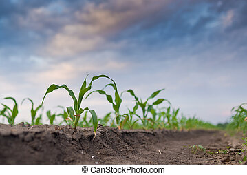 Young green corn in agricultural field in early spring, selective focus.