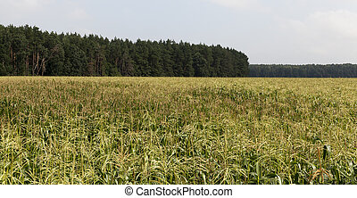 young green corn