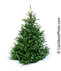 Young green fir tree on snow - Young green Christmas tree...