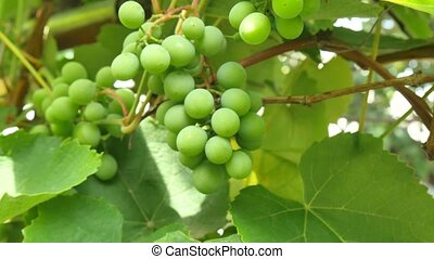 Young green grape berries on the tree. Unripe bunch of green grapes.
