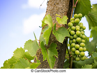 Young green grape bunches in the vineyard