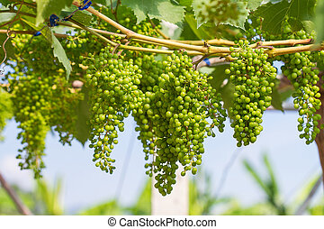 young green grapes - Bunches of green wine grapes hanging on...